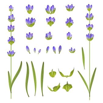 Ensemble de fleurs de lavande.