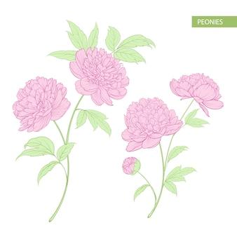 Ensemble de fleurs de pivoine.