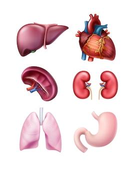 Ensemble de foie d'organes humains réalistes sains