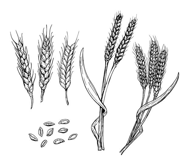 Ensemble de grains d'épis de blé croquis dessinés à la main croquis de céréales ensemble d'icônes décoratives isolé