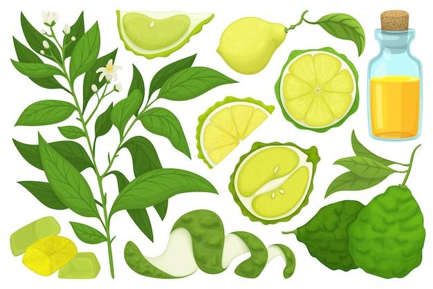 Ensemble d'icônes de dessin animé de vecteur de bergamote. collection vector illustration bergamote sur fond blanc. icônes d'illustration de dessin animé isolé ensemble de citron vert pour la conception web.