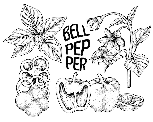 Ensemble d'illustration botanique d'éléments dessinés à la main de poivron