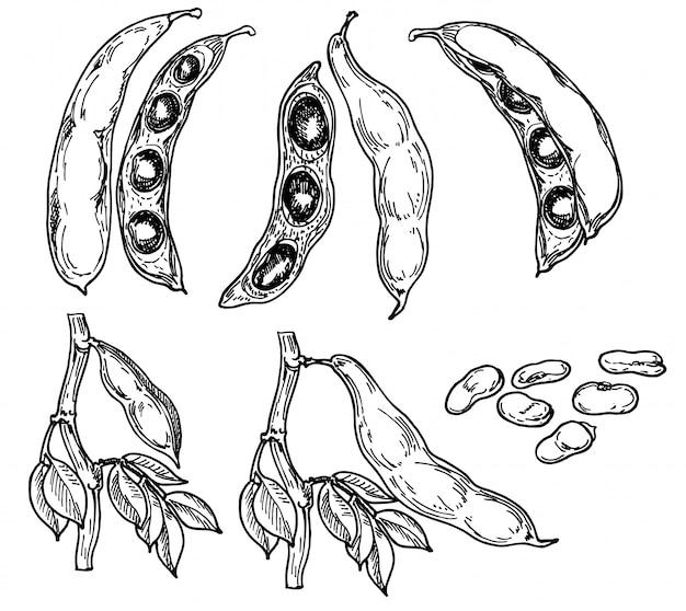 Ensemble d'illustration noir et blanc dessiné à la main détaillée de haricot vert, feuille. esquisser. cultures de légumineuses.
