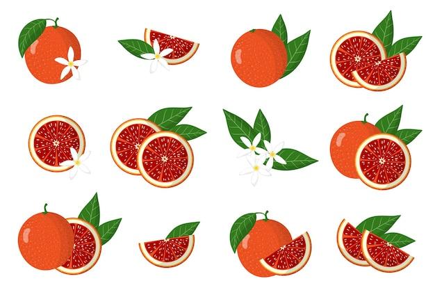 Ensemble d'illustrations avec des agrumes exotiques orange sanguine, des fleurs et des feuilles isolés sur fond blanc.