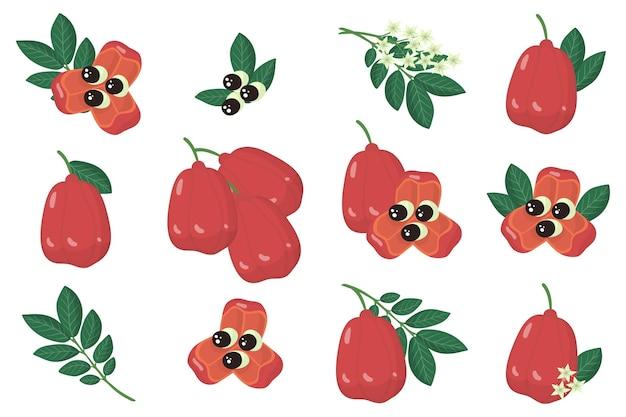 Ensemble d'illustrations avec des fruits exotiques ackee, des fleurs et des feuilles isolés sur fond blanc.