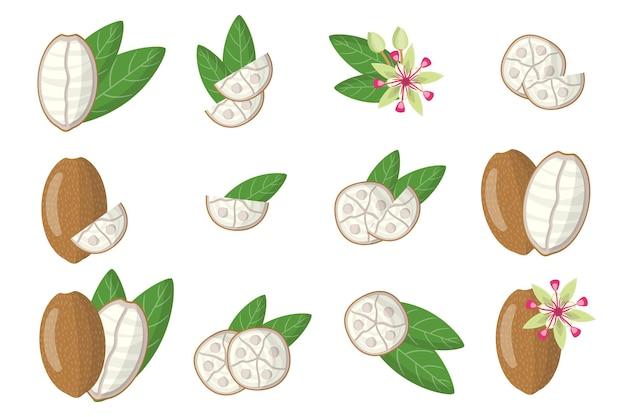 Ensemble d'illustrations avec des fruits exotiques de cupuacu, des fleurs et des feuilles isolés sur fond blanc.