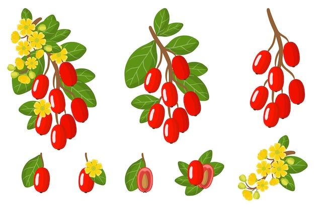 Ensemble d'illustrations avec des fruits exotiques, des fleurs et des feuilles d'épine-vinette isolés sur fond blanc.