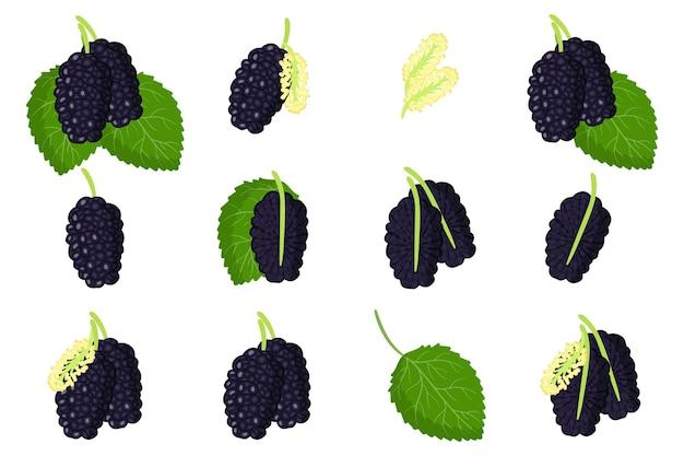 Ensemble d'illustrations avec des fruits exotiques de mûres noires, des fleurs et des feuilles isolées sur fond blanc.