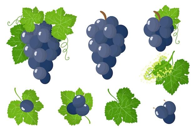 Ensemble d'illustrations avec des fruits exotiques de raisin bleu, des fleurs et des feuilles isolés sur fond blanc.