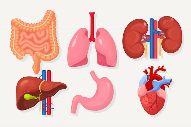 Ensemble d'intestins, intestins, estomac, foie, poumons, cœur, reins isolés sur blanc. tractus gastro-intestinal, système respiratoire.