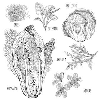 Ensemble de laitue. romaine, redicchio, mâché, épinards, cresson, roquette. illustration vintage dessin à la main style gravure vintage