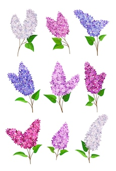 Ensemble de lilas en fleurs de différentes couleurs
