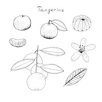 Ensemble de mandarine, fruits avec feuilles, pelées, tranches, brindilles et fleurs, illustration vectorielle, croquis de dessin à la main