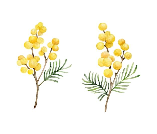 Ensemble de mimosa aquarelle isolé sur blanc
