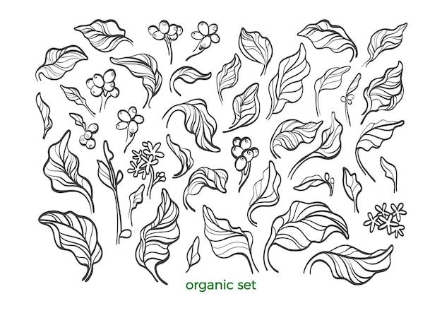Ensemble de la nature. feuilles de café botanique, haricot, fleur. ligne d'art de croquis
