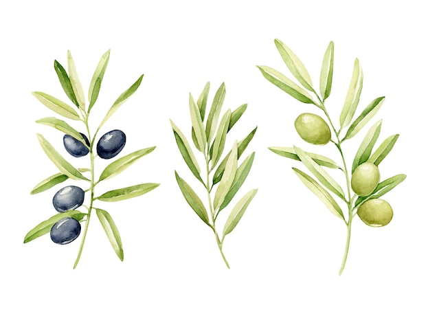Ensemble d'olives aquarelle