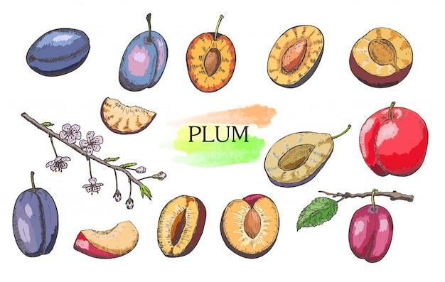 Ensemble de prunes colorées dessinés à la main isolé sur fond blanc.