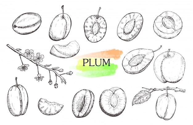 Ensemble de prunes dessinés à la main isolé sur fond blanc.