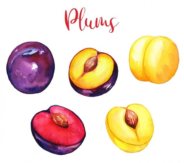Ensemble de prunes de jardin, violet et jaune, fruits aquarelles