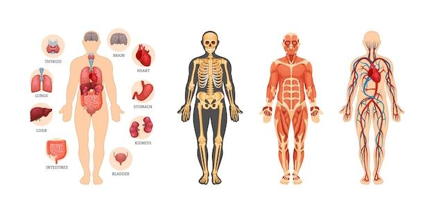 Ensemble de schémas d'anatomie humaine. organe interne avec nom, système artériel circulatoire, muscles, squelette
