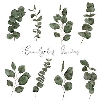 Ensemble de style aquarelle de feuilles d'eucalyptus peintes à la main