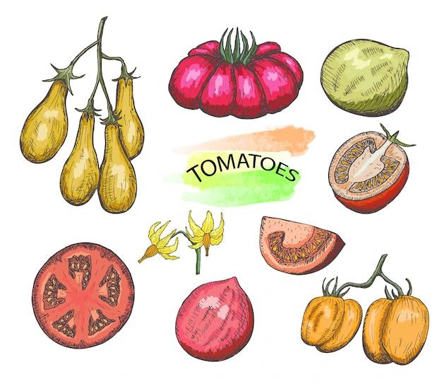 Ensemble de tomates colorées dessinés à la main, isolé sur blanc.