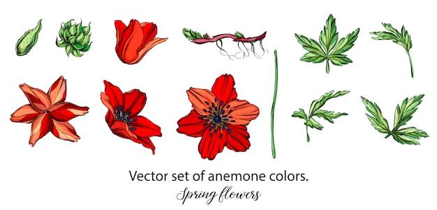 Ensemble de vecteur de couleurs d'anémone rouge. fleurs de printemps