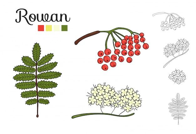 Ensemble de vecteur d'éléments d'arbre rowan isolé