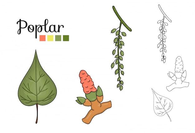 Ensemble de vecteur d'éléments de peuplier isolé. illustration botanique de feuille de peuplier, brunch, fleurs, fruits, ament. clip art noir et blanc