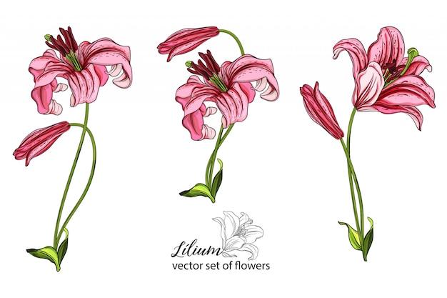 Ensemble de vecteur de fleurs et de bourgeons de lys.
