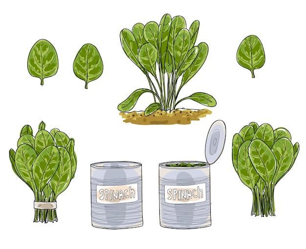 Épinards feuilles dessinées à la main art vecteur set art illustratio