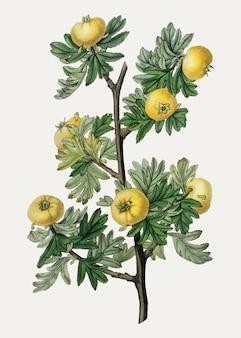 Épine à feuilles de tanaisie