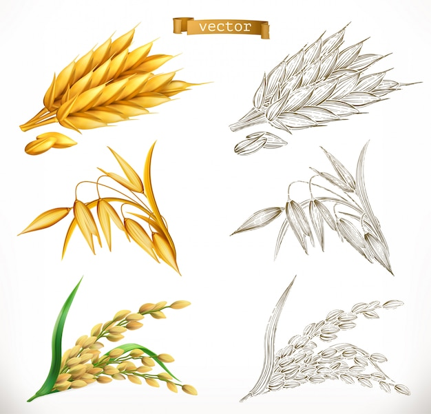 Épis de blé, d'avoine, de riz. réalisme 3d et styles de gravure. illustration