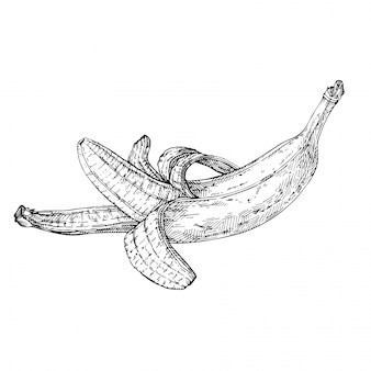 Esquissez la banane ouverte. banane dessinée à la main. illustration gravée à l'encre