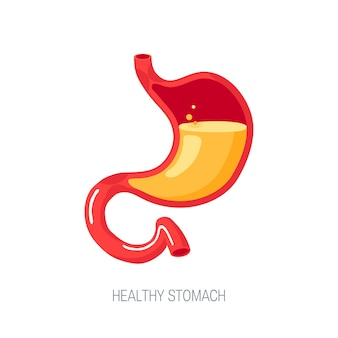 Estomac humain sain plein d'acide gastrique, vue en coupe.