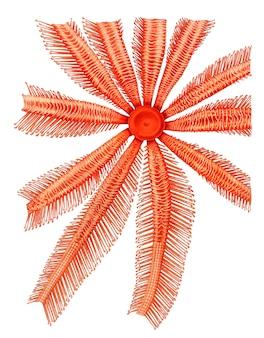 Étoile de mer de brisingidae