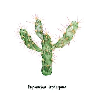 Euphorbe heptagona cactus dessinés à la main