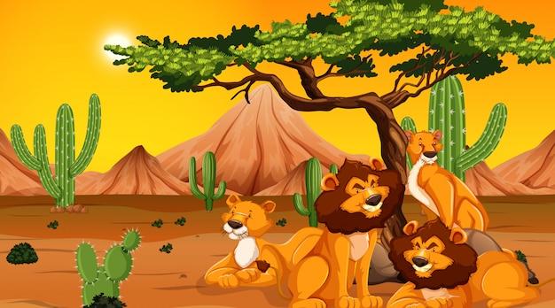 Famille de lions au désert