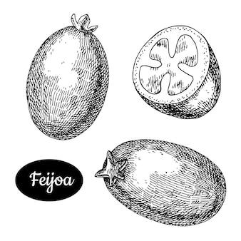 Feijoa dessiné à la main.