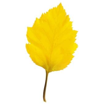 Feuille d'arbre réaliste d'aulne dans les couleurs changeantes de l'automne.