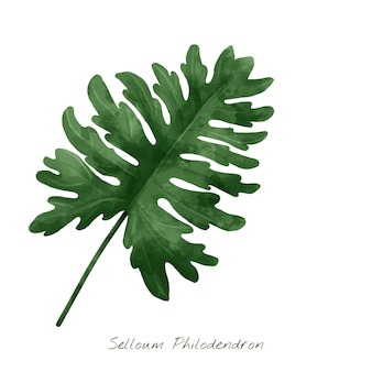 Feuille de selloum philodendron isolé sur fond blanc