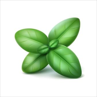 Feuilles de basilic frais vert de vecteur sur blanc