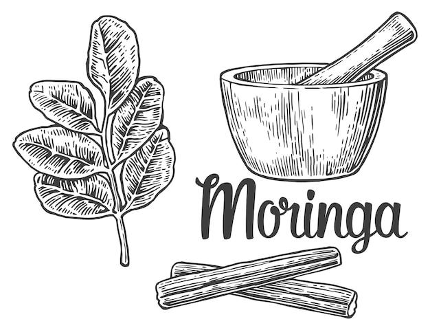 Feuilles et gousse de moringa. mortier et pilon. illustration vintage gravé.