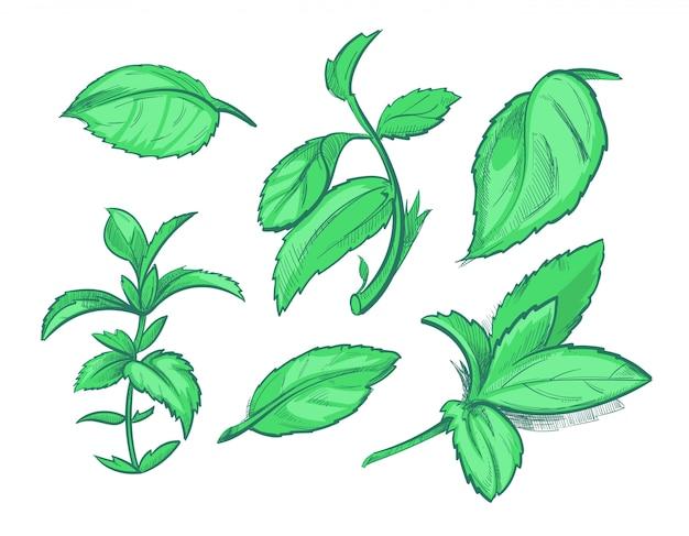 Feuilles de menthe verte, menthol, dessiné à la main arôme menthe poivrée