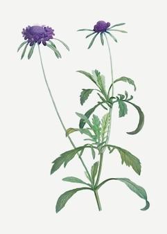 Fleur d'allium atropurpureum