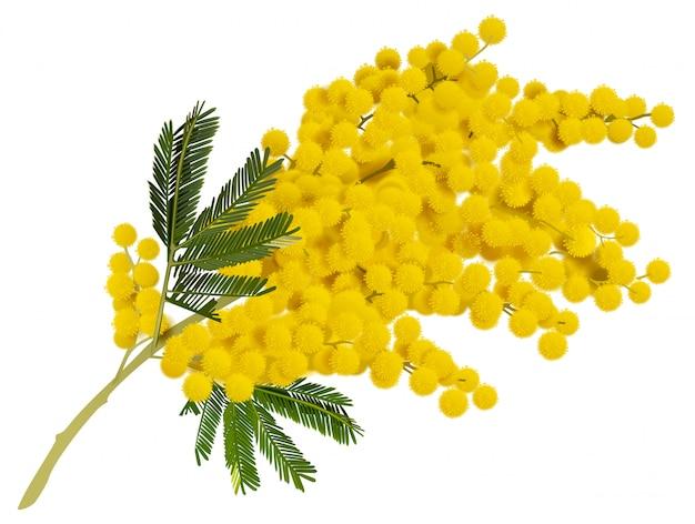 Fleur de branche de mimosa jaune.