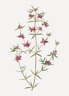 Fleur de bruyère mirbelia