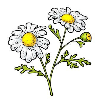 Fleur de camomille avec illustration de gravure de feuilles