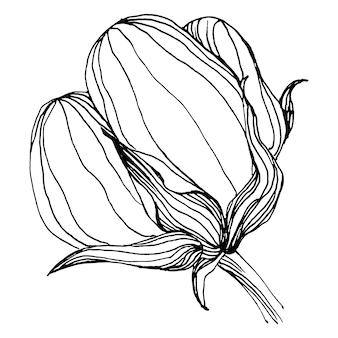 Fleur de coton, gravure illustration vintage