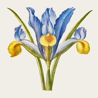 Fleur d'iris barbu dessiné à la main